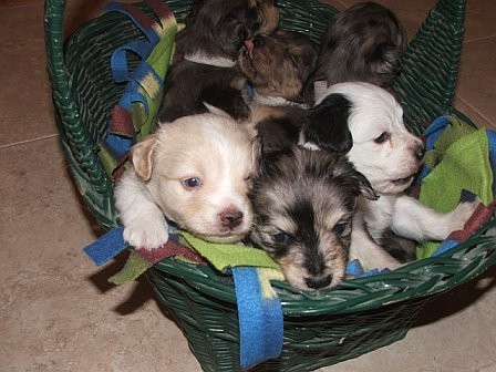 Basket_of_puppies__3_10_12_06.jpg