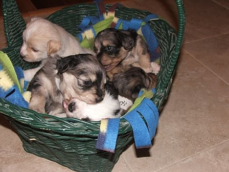 Basket_of_puppies_with_Booker___Whitie_playing__2_10_12_06.jpg