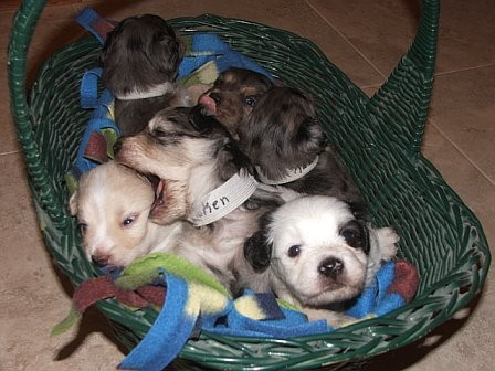 Basket_of_puppies_with_Booker_playing_with_Timber_10_12_06.jpg