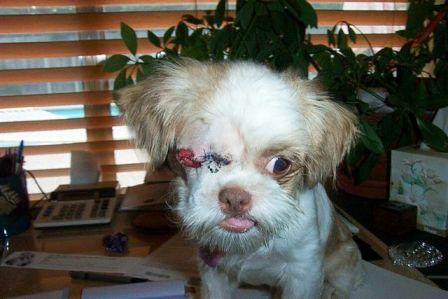 tiger after eye surgery