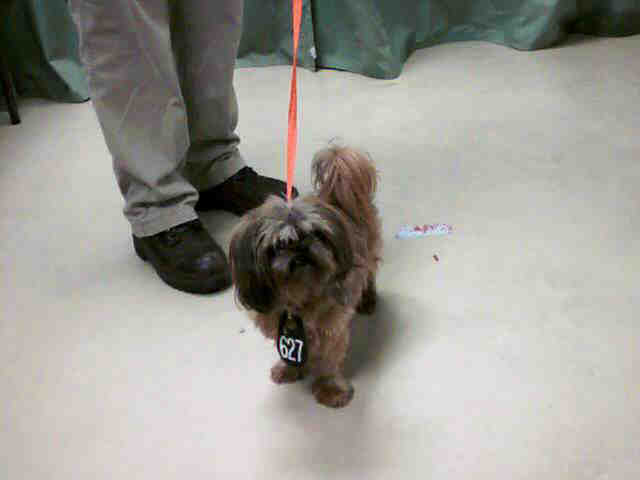 8 Year Old Shih Tzu at Shelter